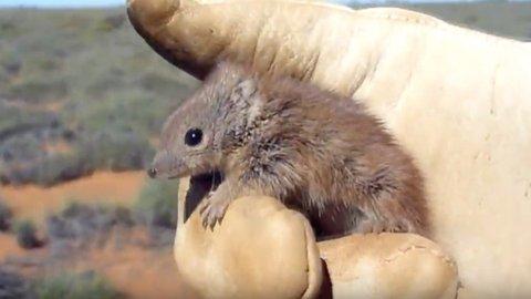 Hewan Mungil di Australia Ini Gampang Mati Karena Keseringan Kawin