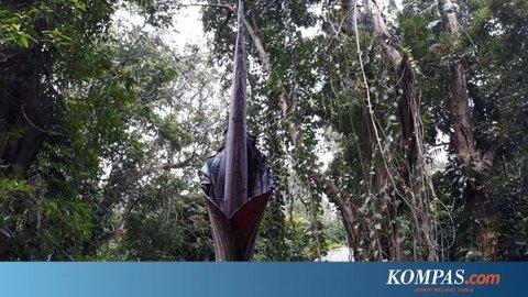 Bunga Bangkai Langka Setinggi 290 Meter Mekar Sempurna di Kebun Raya Bogor