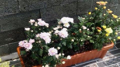 Cara Merawat Bunga Aster Si Cantik Yang Mirip Krisan Kurio