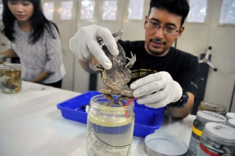 Peneliti Lembaga Ilmu Pengetahuan Indonesia (LIPI) menunjukkan spesies baru katak tanduk Kalimantan (Megophrys kalimantanensis) di Laboratorium Gedung Widyasatwaloka, LIPI Cibinong, Kabupaten Bogor, Jawa Barat, Selasa (8/10/2019). Foto: ANTARA FOTO/Arif Firmansyah