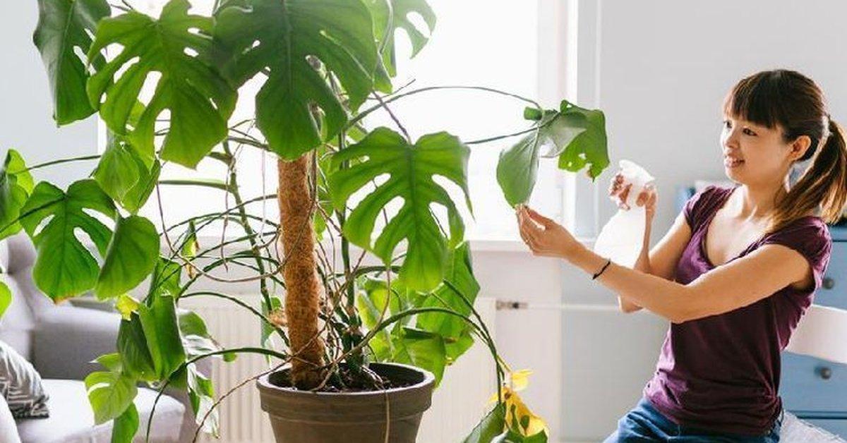 Mengenal Asal Usul Si Janda Bolong Yang Bisa Tumbuh Hingga 20 Meter Tingginya Kurio
