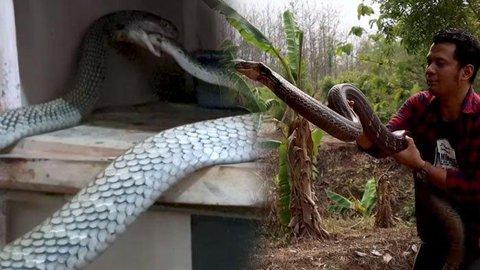 Video Detik Detik King Kobra Makan Ular Piton 1 Meter Desisannya