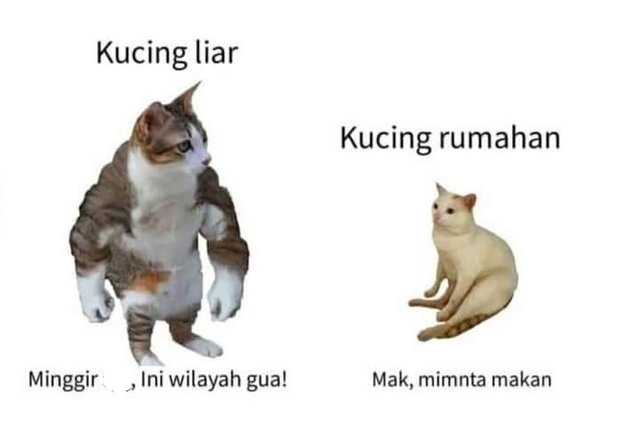 10 Meme Beda Nasib Kucing Kampung Dan Rumahan Humor