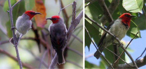 Burung Myzomela prawiradilagae. Foto: Lembaga Ilmu Pengetahuan Indonesia (LIPI)